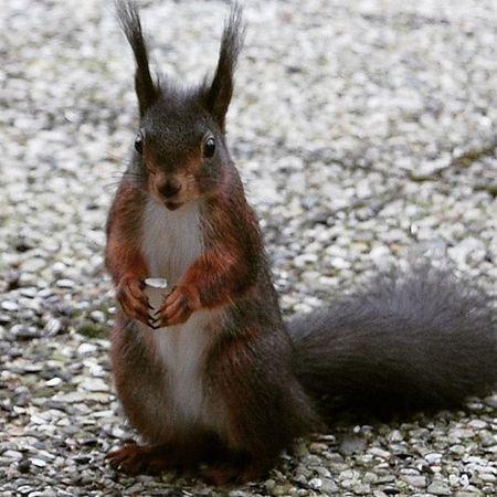 Fritz ganz nah und neugierig!!! Eichhörnchen Nah Wildlife Natur Neugierig Nature Photography Wildlife & Nature Makro Experiment Tiere♡