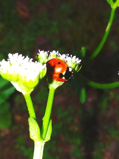 Ladybug🐞 Flower Full Length Insect Leaf Close-up Animal Themes Plant Green Color Blooming In Bloom Pollen Cosmos Flower