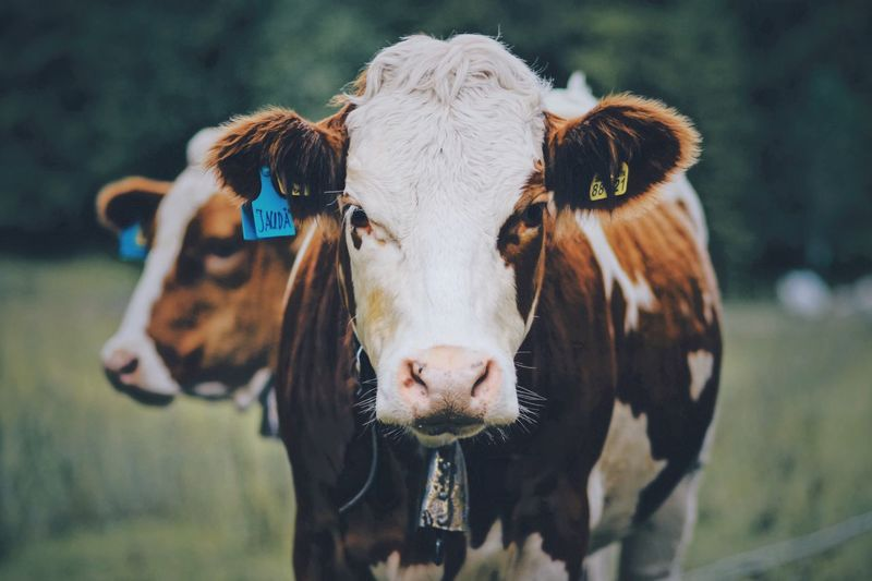 EyeEm Selects Animal Domestic Animals Domestic Mammal Animal Themes Focus On Foreground Cow