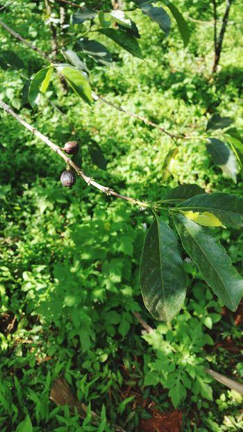 Kaffeebohne Kaffeepflanze Africa Uganda  Trip