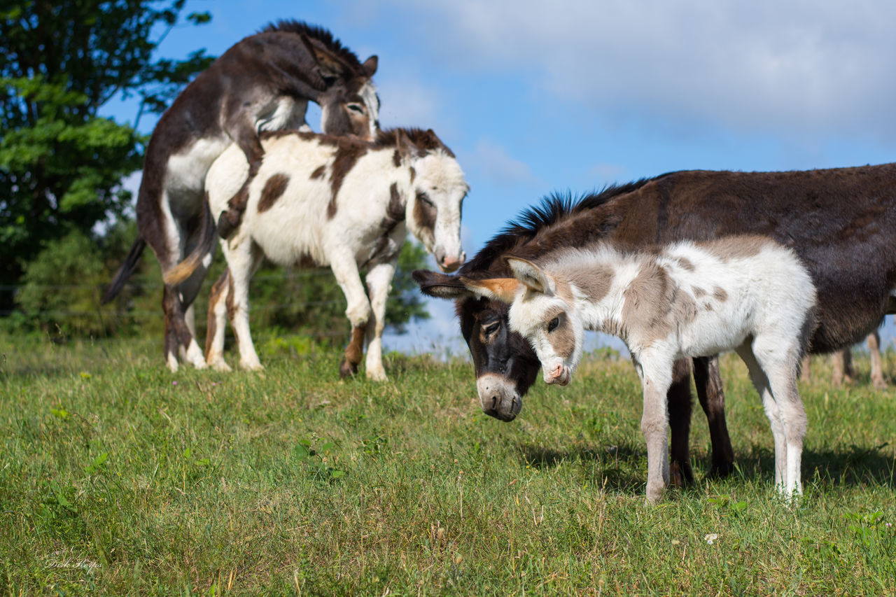 domestic animals, animal themes, livestock, mammal, grass, day, field, no people, grazing, young animal, sky, outdoors, nature, standing