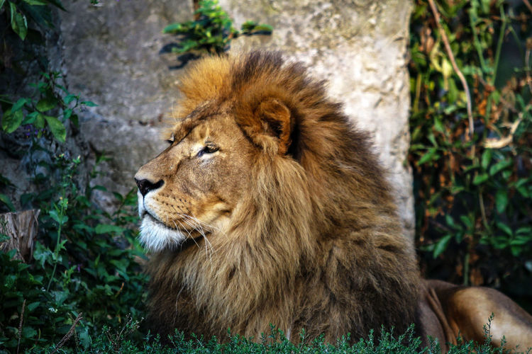 Animal Themes Animal Wildlife Animals In The Wild Close-up Day Lion Lion - Feline Mammal Nature No People One Animal Outdoors Plant Relaxation Wildlife