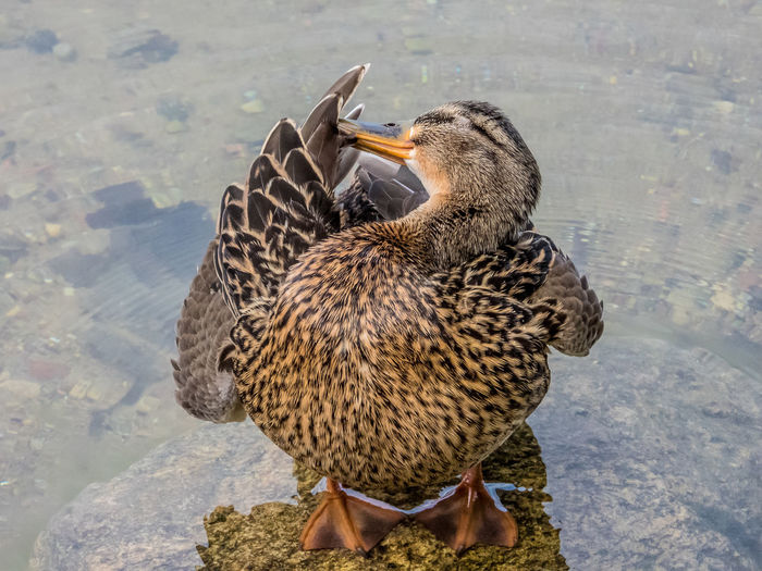 Duck Animal Themes Animal Animal Wildlife Animals In The Wild Vertebrate Bird Lake Water Group Of Animals Duck No People Mallard Duck Day Nature Female Animal Two Animals Young Bird Poultry Water Bird Beak Animal Family Ducks Ducks In Water Ducks At The Lake Prink Brush Duckface Wash Clearing Dublin