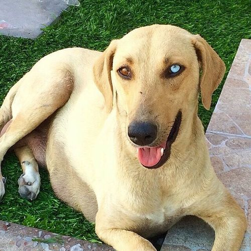 Heterochromia iridis Animal Themes Dog Pets Mammal Domestic Animals One Animal Grass Dog❤ Dogslife Dogs Of EyeEm Dogs_of_instagram Dogstagram Perros❤ Perrosdeinstagram Fuchs Iris - Eye