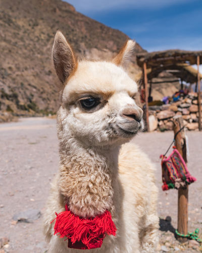 Colca Canyon Highlights Colca Canyon Peru Southamerica Nature Mammal Domestic Animals Animal Themes One Animal Animal Pets Domestic Livestock Llama Focus On Foreground Alpaca Day Close-up Camel No People Animal Head  Animal Body Part Herbivorous Outdoors Baby