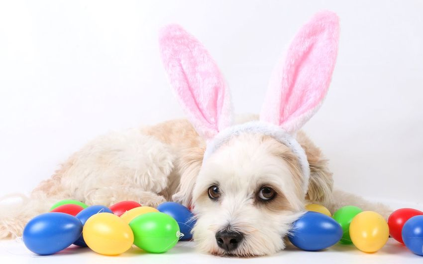 Portrait of dog with colorful easter eggs against white background