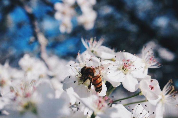 Close-up of insect on cherry blossom