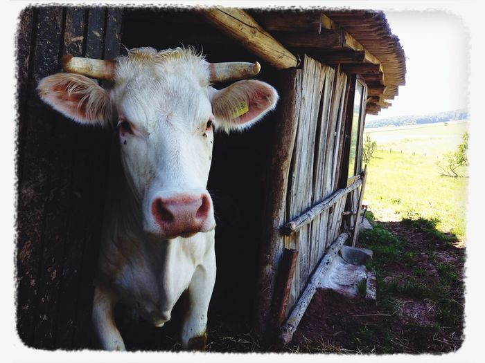 Kuhaugen Enjoying Life Cow Countryside Nature First Eyeem Photo