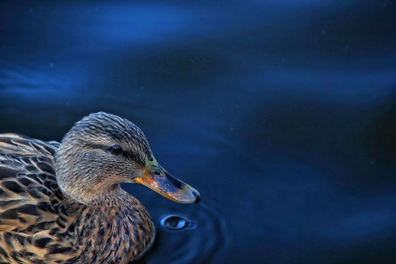 Close-up side view of a duck in lake