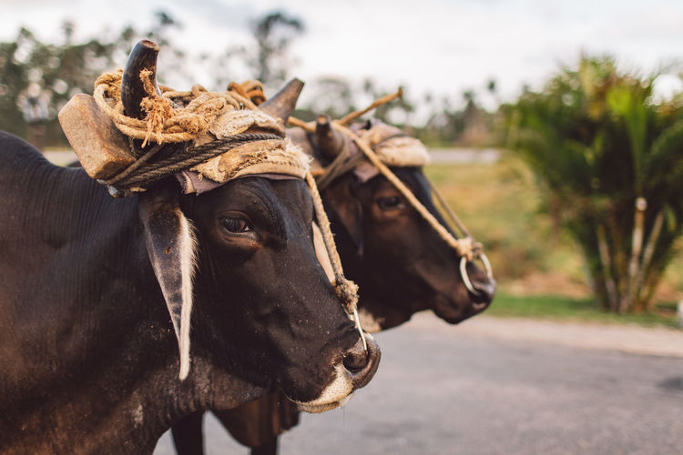 Close-up of cows
