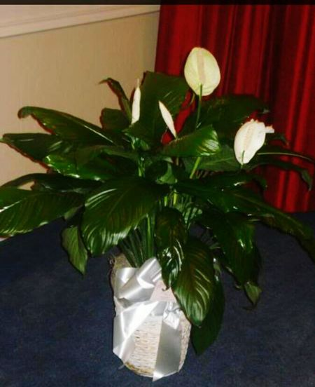Peace lily. Peace Lily White Flowers Deep Green Bow On Plant In Memoey Of My Dad Flower Collection