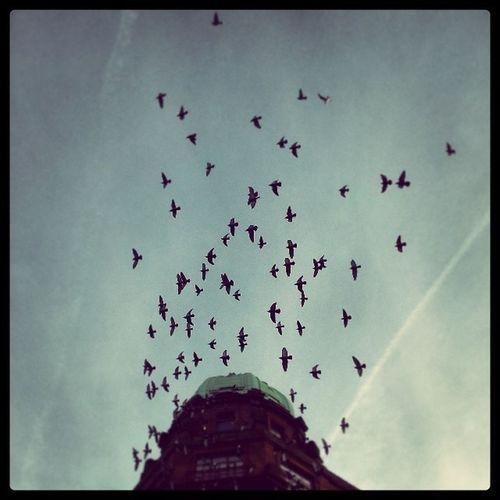 Glaswegian pigeons