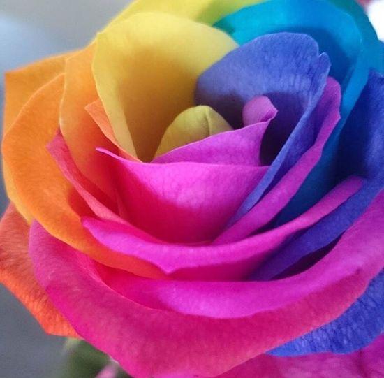 Rainbow of roses RainbowRose