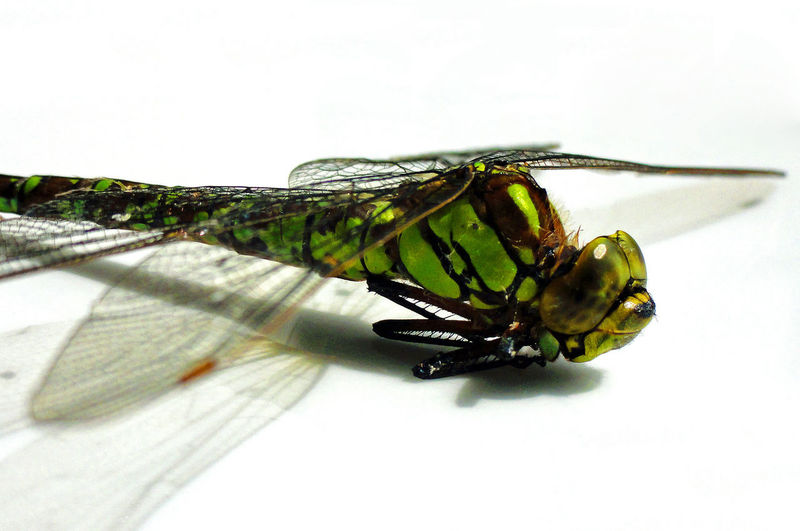 I found this dead Dragonfly in Germany. It died in a spider web, which I tried to clean off as good as possible (with tweezers). Close-up Dead Detail Died In Spiderweb Dragonflies Dragonfly Flying Insect Found In The Yard Insect Insect Photography Insects  Insects Collection Insekt Insekten Lake Libelle One Animal Pond Pondlife Predator Showcase March Simplicity Wildlife Wildlife & Nature Wildlife Photography