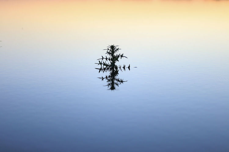 Plant growing in lake against sky during sunset