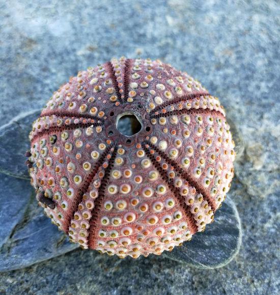 Caparazón de un erizo de mar Espinas Marino Playa Marisco Esqueleto Colores Food Natural Beauty Close-up No People Day Water Indoors  Nature