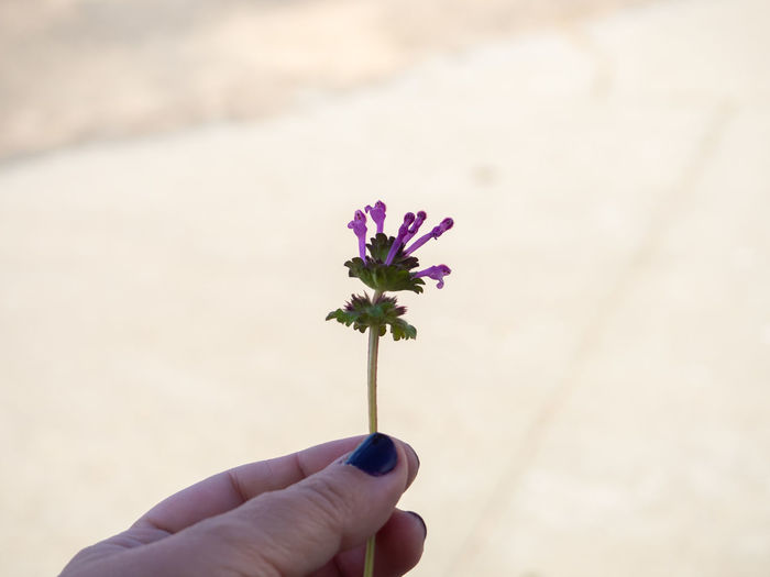 Close-up of hand holding purple flowering plant