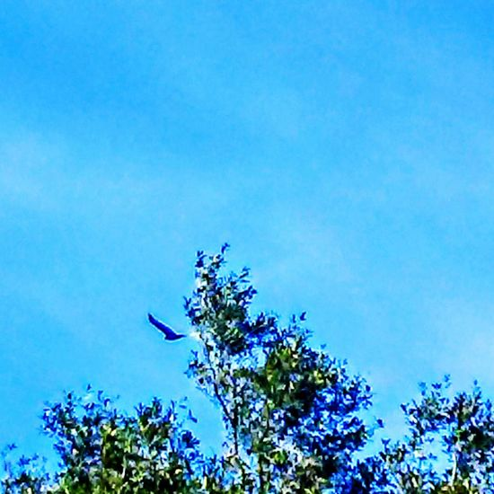 Tree Blue Sky Treetop Nature No People Growth Clear Sky Outdoors Beauty In Nature Day Tranquility Backgrounds The Purist (no Edit, No Filter) Capture The Moment Animal Wildlife One Bird Flying Low Angle View