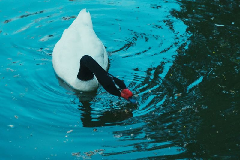 swan Swan Water High Angle View Swimming Waterfront Day Nature Animal Motion One Person Real People Animal Themes Vertebrate Sport Animals In The Wild One Animal Rippled Outdoors Bird