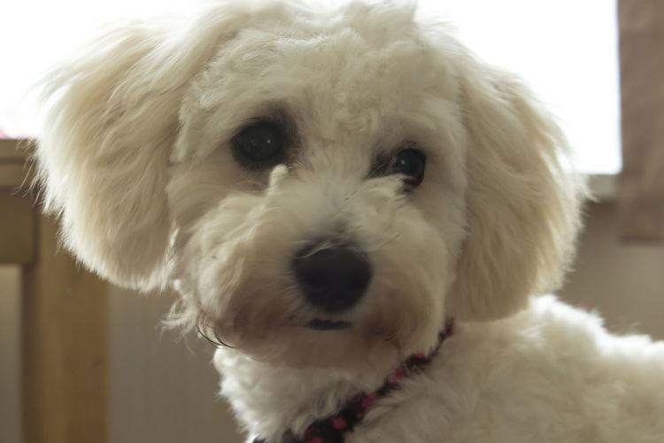 Cutie pie. #bechonfrieze #bitch #prt #puppy Animal Head  Animal Nose Animal Themes Close-up Cute Domestic Animals Nature No People Portrait Snout White