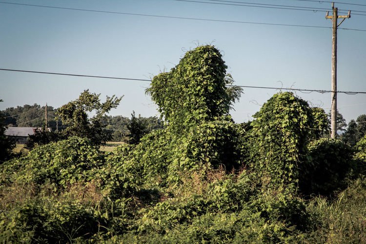 Beauty In Nature Cable Clear Sky Day Electricity Pylon Green Color Growth Kudzu Kudzu Vine Low Angle View Nature No People Outdoors Plant Power Supply Sky Telephone Line Tree