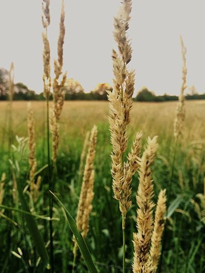 Growth Cereal Plant Agriculture Crop  Field Rural Scene Nature Farm Plant Landscape Tranquility Tranquil Scene Focus On Foreground Outdoors Day No People Green Color Ear Of Wheat Close-up