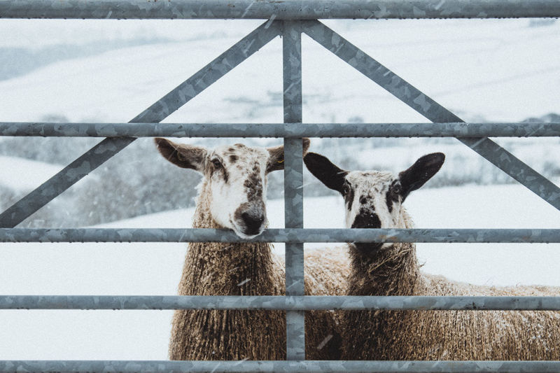 Portrait of sheep in pen during snowfall at winter