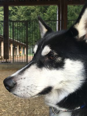 Animal Animal Head  Animal Themes Close-up Day Dog Domestic Animals Focus On Foreground Husky Looking Away Loyalty Mammal No People One Animal Pets Snout Zoology