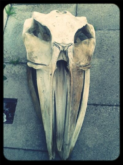 Whale Skull Ireland Found this beauty on the beach but couldn't bring it home because it really stinks ><