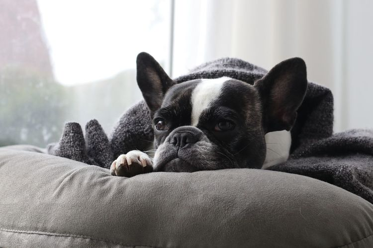 Close-up of boston terrier relaxing on sofa at home