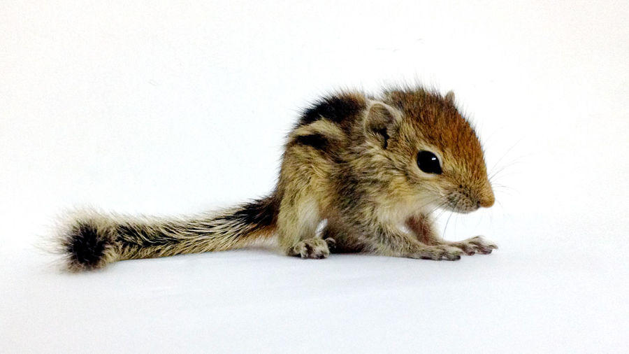 New member of our family. Alertness Animal Animal Themes Baby Baby Squirrel Brown Close-up Cute EyeEm EyeEm Best Edits EyeEm Best Shots EyeEm Gallery EyeEm Nature Lover Funambulus Palmarum Indian Palm Squirrel Indian Squirrel Mammal Nature No People Portrait Striped Squirrel Studio Shot Three-striped Palm Squirrel White Background Animals Perspectives On Nature EyeEmNewHere