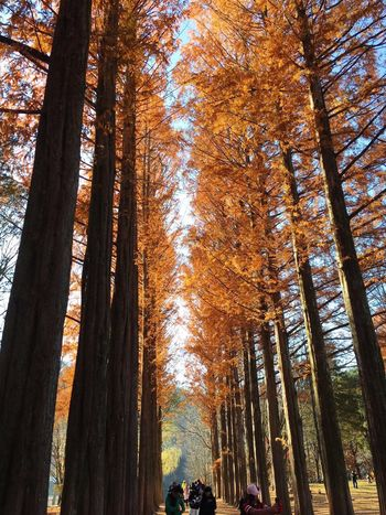 Nami Island Tree Tree Trunk Nature Forest Low Angle View Day Growth WoodLand Outdoors Beauty In Nature Pine Tree Autumn Scenics No People Architecture Sky Korea Autumn Sunlight Tree Autumntrees Yellowtrees Beautifultrees Autumnnami Happiness