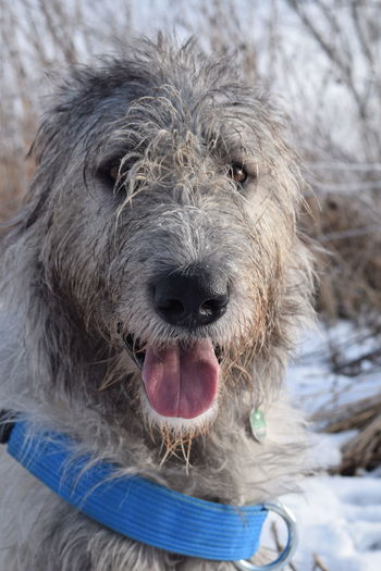 One Animal Animal Themes Cold Temperature Outdoors Portrait Snow Close-up Winter 2017 How's The Weather Today? January 2017 It Is Cold Outside Dogwalk Bokeh Dogs Of Winter Dog Of The Day Dogs Of EyeEm Dogslife Irish Wolfhound Cearnaigh Looking At Camera Dog From My Point Of View