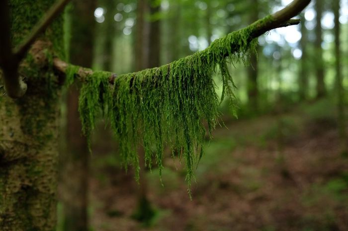 Nature Growth Tree Green Color Beauty In Nature Outdoors No People Day Tranquility Focus On Foreground Plant Forest Tree Trunk Fragility Close-up Freshness Blackforest hier tragen die Bäume Bart Fuji X-t2 Barbed Tree EyeEmNewHere The Great Outdoors - 2018 EyeEm Awards