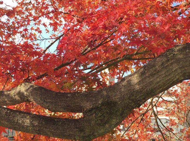 Kyoto City Kyoto Japan Kyoto Autumn Kyoto Autumn Leafs