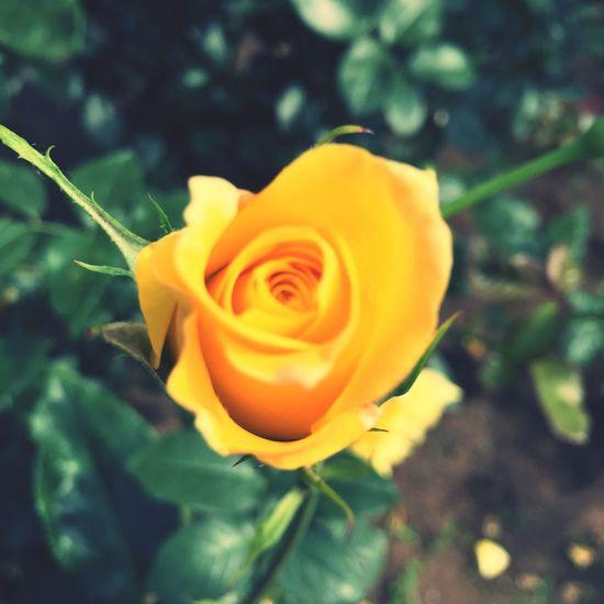 Rose🌹 Japan Rose - Flower