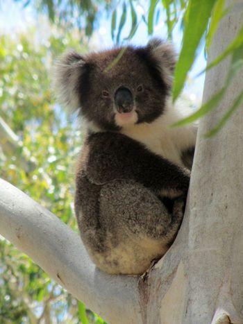 Koala Koala Bear Koala 🐨 Australia Australian Wildlife Australian Native Animals Koala On A Tree Animals In The Wild Animal_collection Wild Animal Bear On The Way Connected By Travel