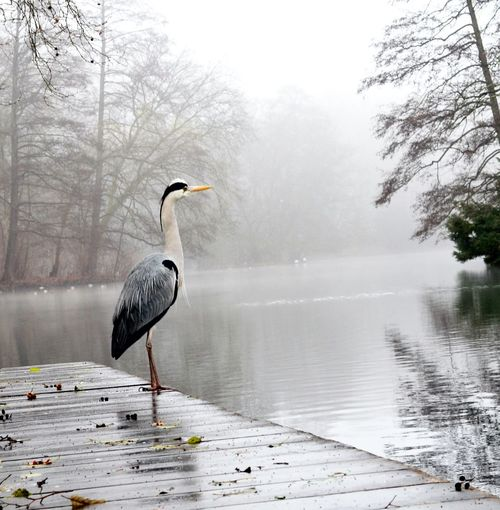 Gray Heron Perching On Pier By Lake During Foggy Weather