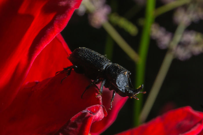 Rugose beetle posing on the flower Bug Macro Photography Nature Plant Stag Beetle Anthropoda Beetle Close-up Flower Flower Head Horned Insect Macro Macrophotography Outside Pedals Rugose Sinodendron Rugosum Stag Zoom