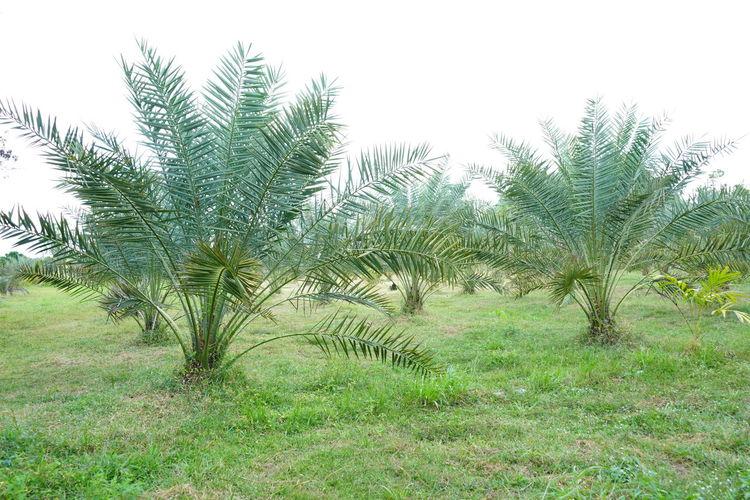 Barhi Dates Dates On Date Palm Barhi Date Palm Date Palm Garde Date Palm Tree Date Palms Outdoors Plant