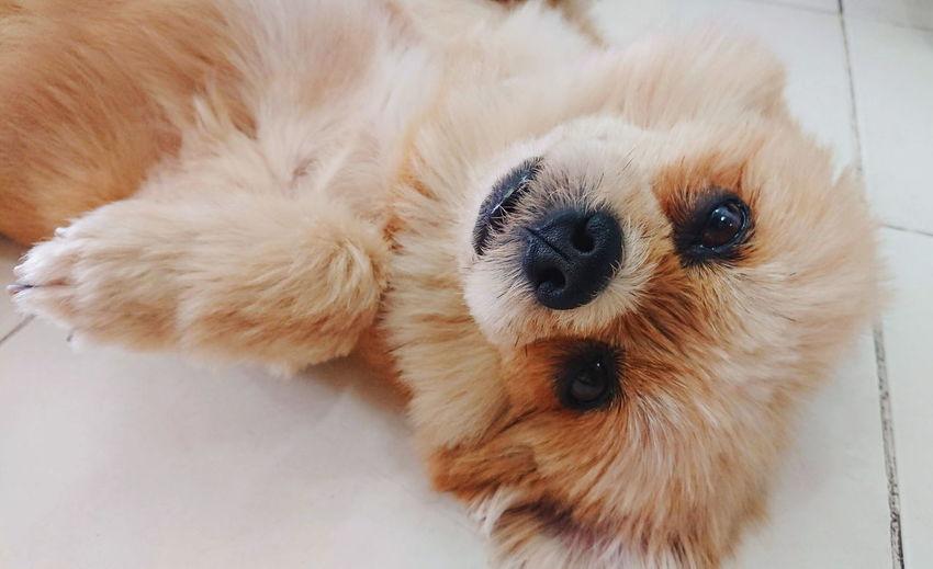 Cute Shisu dog