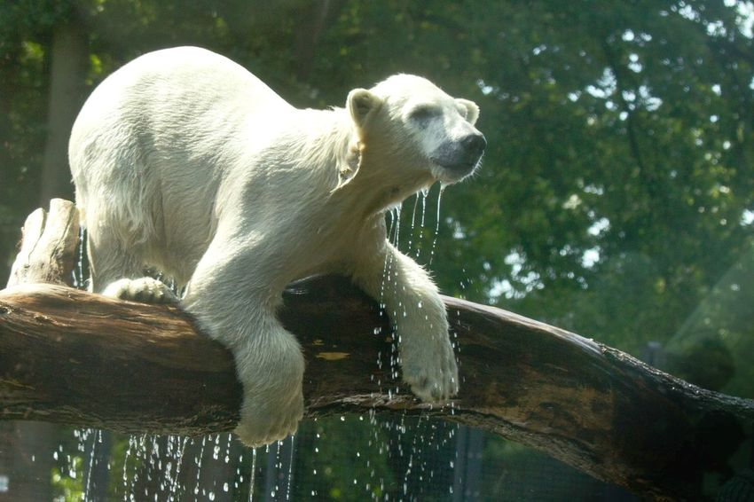Polar Bear Baby Playing on a Tree In The Water Beautiful Animal White Bear Animal Photography i took the photo trough the glass
