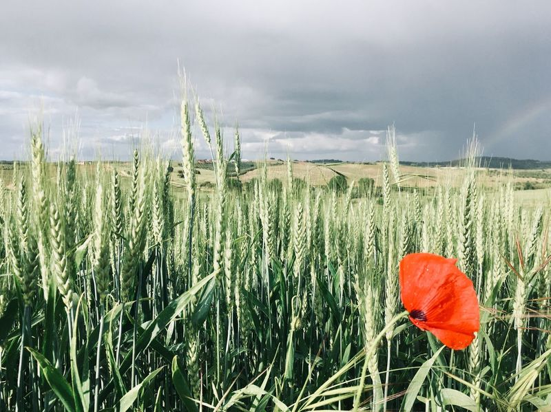 Red poppy in wheat field Plant Growth Land Beauty In Nature Nature Field Flowering Plant Flower Cloud - Sky Landscape Sky Agriculture Red Rural Scene Poppy