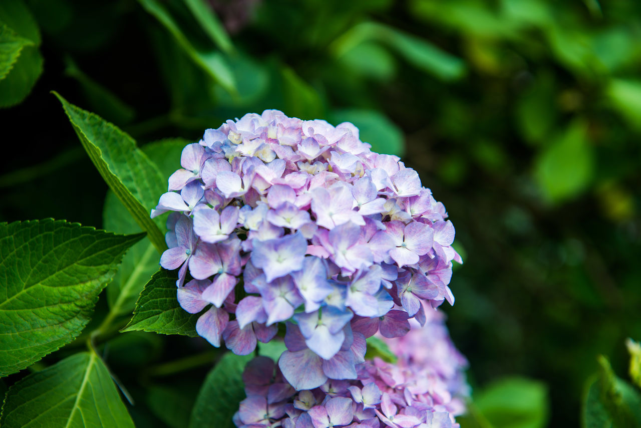 flower, nature, beauty in nature, growth, petal, green color, fragility, focus on foreground, no people, plant, day, freshness, leaf, close-up, purple, outdoors, hydrangea, blooming, flower head