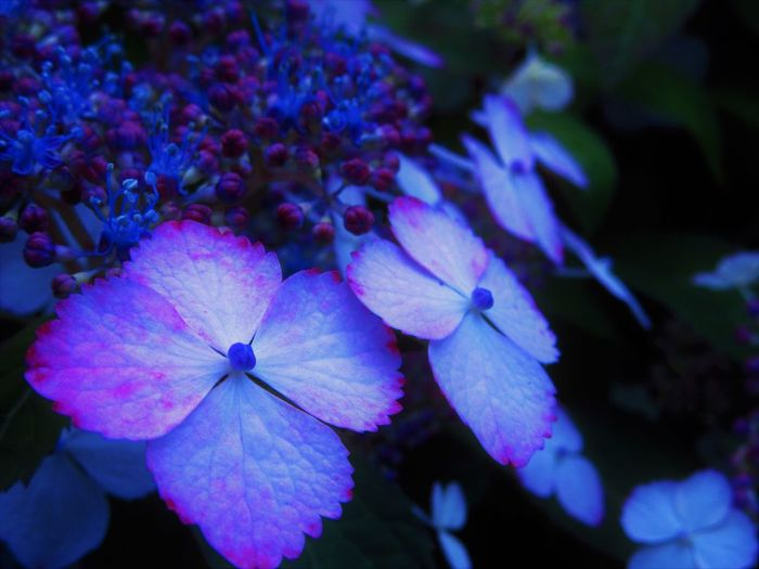 Hydrangea Plant Blue Close-up Flower Flower Head Nature No People Outdoor Photography Outdoors Plant