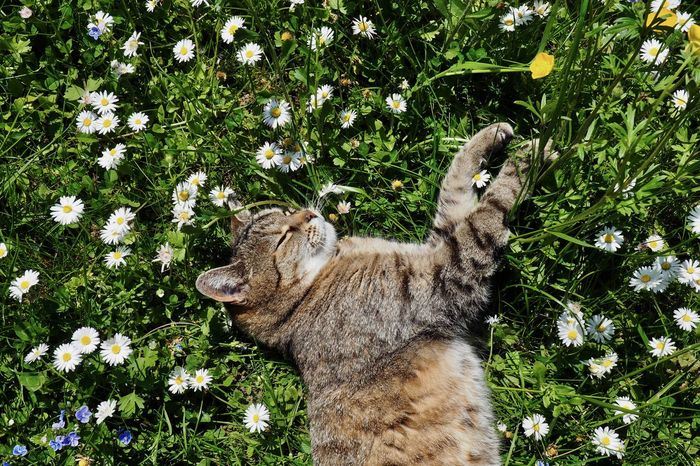 Animal Animal Themes Cat Day Domestic Domestic Animals Domestic Cat Feline Flower Flowering Plant Green Color Growth Mammal Nature No People One Animal Pets Plant Relaxation Springtime Tabby Vertebrate