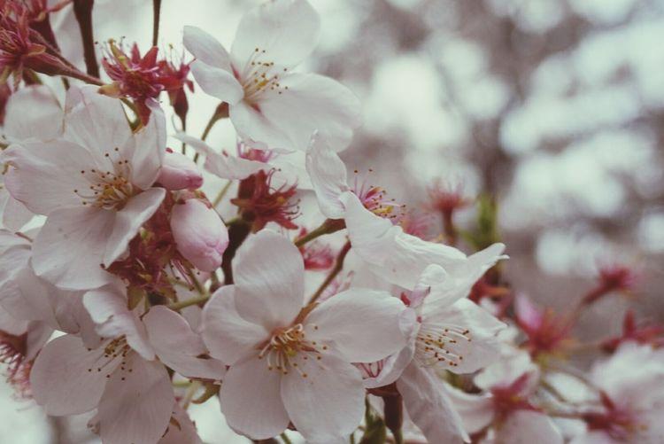 Walking Around Relaxing Enjoying Life Taking Photos Tokyo Cherry Blossoms Japan