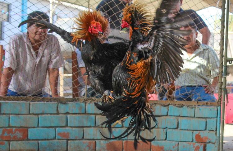 Gallos Lambayeque Peru Tradition