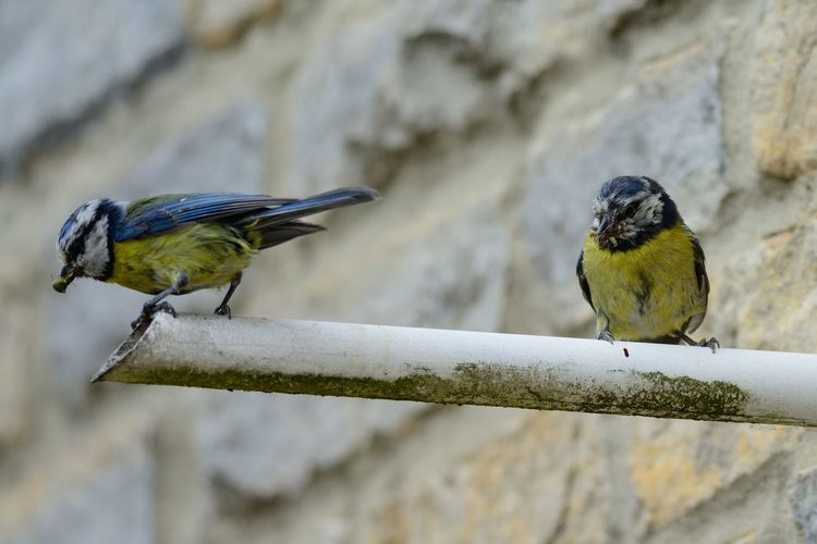 Low angle view of blue tits perching on pipe against wall