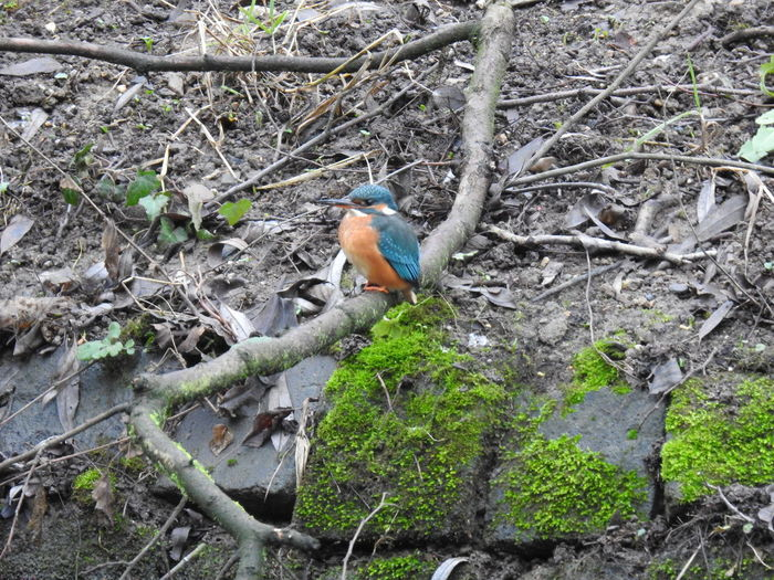 Kingfisher Kingfisher, Eisvogel